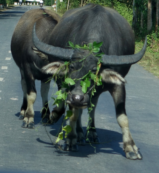 Ox in middle of road and couldn't get rid of vines