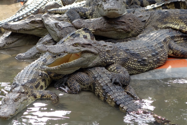 Two year old Alligators