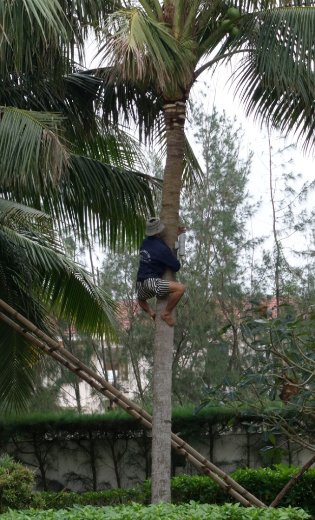 Tree expert trimming the coconut  branches
