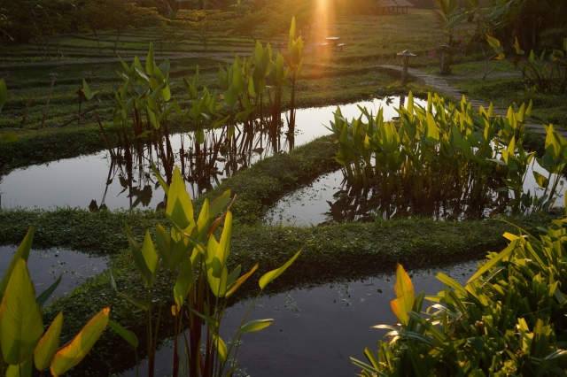 Sunset on the rice paddies
