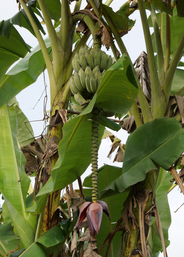 Lots of banana trees